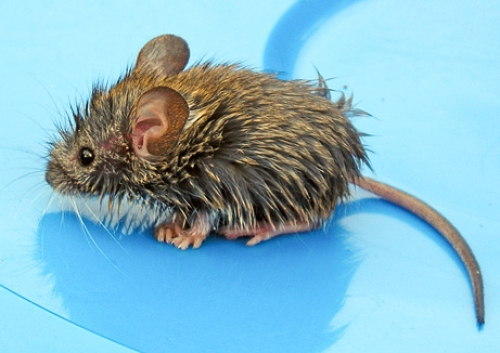 wet rat Top Romney Rats Scurry Away From Eastwood Chair Debacle